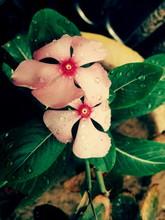 Water Drops On Pink Periwinkle Flowers