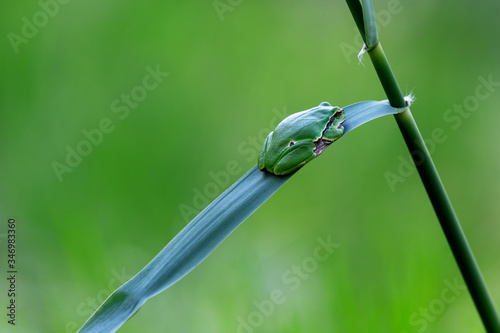 Hyla arborea - green tree frog sitting on a green reed leaf with a beautiful bac Canvas Print