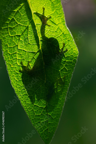 Hyla arborea - green tree frog sitting on a green leaf in backlight with a beaut Canvas Print