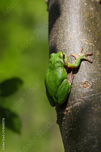Hyla arborea - a small green tree frog sitting on a tree trunk with beautiful li Canvas Print