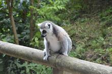 Curious Lemurs