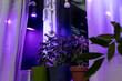 canvas print picture - Tomato plants on windowsill near window under artificial lighting LED lamp solar spectrum