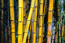 Close-up Of Yellow Bamboo Forest