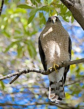 Low Angle View Of Coopers Hawk Perching On Tree