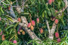 Beautiful Mango Tree Full Of M...