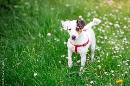 Obraz Pies na spacerze. Jack russel terier w trawie - fototapety do salonu