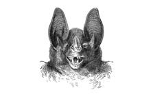 Illustration Of A Head Of Vampire Bat In Popular Encyclopedia From 1890