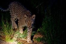 Leopard Illuminated With Flashlight At Night