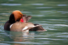 Close-up Of Red-crested Pochard Swimming In Lake