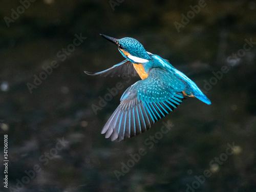 Valokuvatapetti common kingfisher in flight over Izumi River 5
