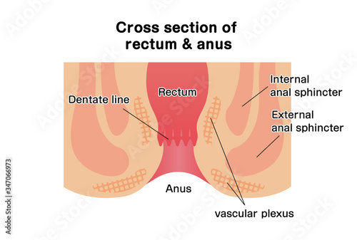 Cross section of rectum and anus / vector illustration Wallpaper Mural
