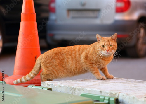Street thick red cat next to the barrage orange cone Canvas Print