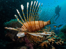 Amazing Picture Of A Lionfish (Pterois) At A Red Sea Coral Reef With The Silhouette Of A Scuba Diver In The Background