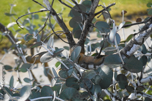 Eucalyptus pulverulenta shrub with exotic  silvery grey round leaves on branches close up Canvas-taulu