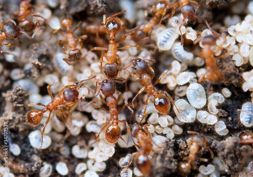 Fotografiet ants protecting