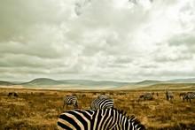 Zebras Grazing On Grassy Lands...
