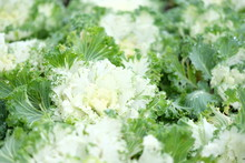 White Cabbage Flower In The Ch...