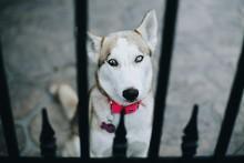 Portrait Of Siberian Husky Seen From Metal Gate
