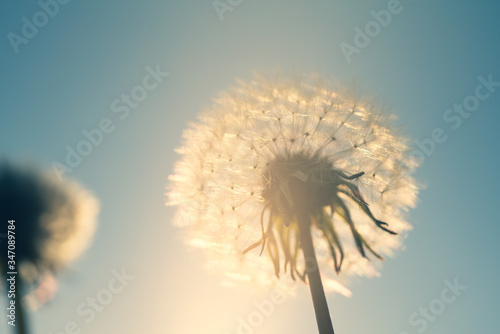 Photo Blowball in the backlight