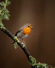 Stunning Image Of Robin Red Breast Bird Erithacus Rubecula On Branch In Spring Sunshine