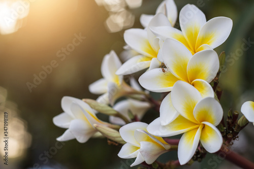 Photographie Close-up Of Frangipani Blooming Outdoors