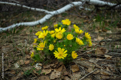 Yellow adonis spring rare flower plant from the red book Canvas Print