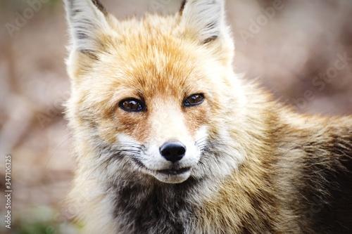 Photo Close-up Of Alert Fox