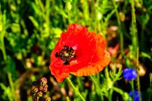 Bumble Bee On Poppy Flower Clo...