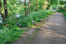 A Gaggle Of Geese At Riverside Park In Horley, Surrey