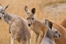 Red Kangaroos In The Australian Bush