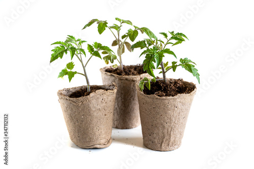 Fotografia A tomato seedling in the peat pot, isolated