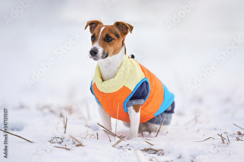 Photo Small Jack Russell terrier dog in bright orange yellow and blue winter jacket si