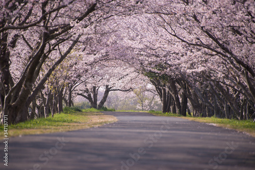 Canvas Cherry Blossom Trees Along Road
