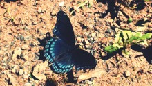 Close-up Of Red-spotted Purple Butterfly On Field