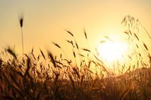 Sun Shining Through Wheat Field