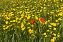 Yellow Daisies And Red Poppies In Green Wheat Field In Sunlight