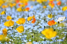 Close-up Of Yellow Poppy Flowers Blooming On Field