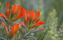 Close-up Of Orange Indian Paintbrush Flowers Blooming Outdoors