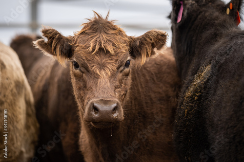 фотография Specked park, Murray Grey and Angus cattle in Australia grazing on grass