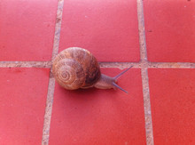 Snail On Red Tiled Floor