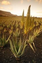 Aloe Vera Plants Growing On Farm At Sunset