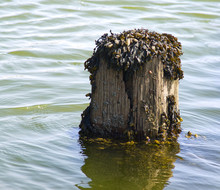 Seaweed On A Post In The Sea