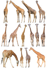 Giraffe Isolated On White Back...