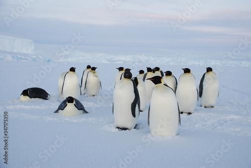 Cuadros en Lienzo emperor penguins in antarctica