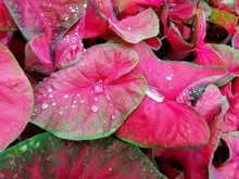 Red And Green Caladium Plants With Raindrops