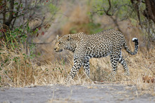Female Leopard Walking In Sabi Sands Game Reserve In The Greater Kruger Region In South Africa