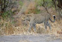 Female Leopard Walking In Sabi...