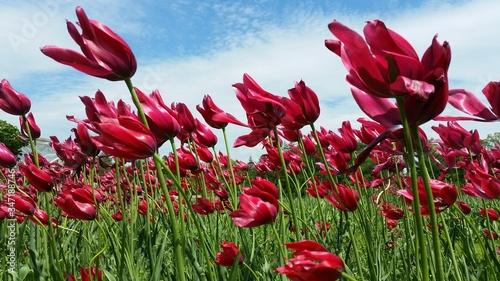 Fényképezés Windswept Tulips