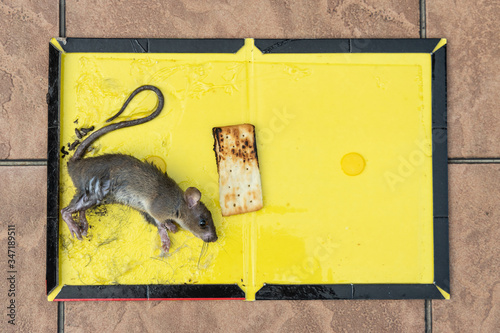 Rat mouse captured onto glue trap with biscuit bait Canvas Print