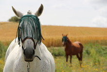 Two Horses Spanish